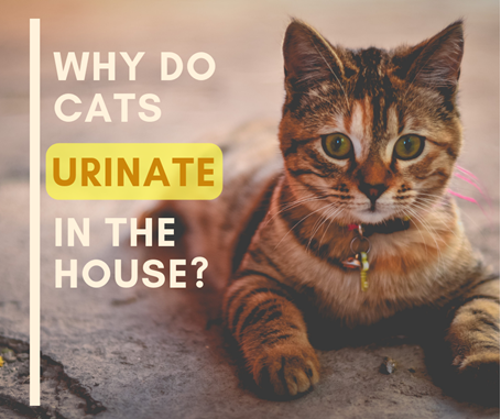 why do cats urinate in the house in corona c